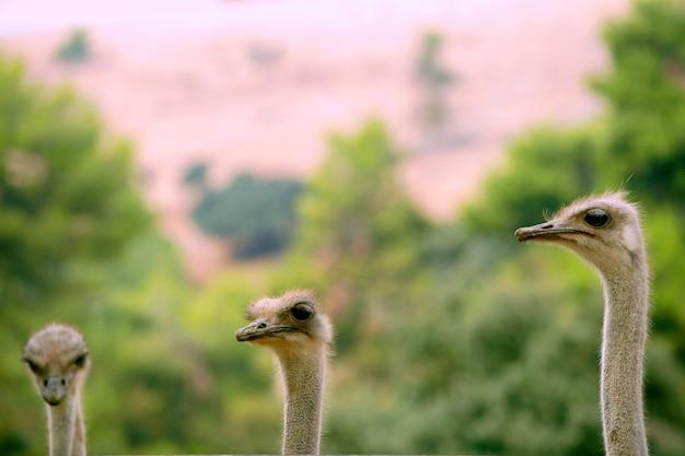 Africano, três, avestruz, retrato, engraçado, família, verde, ao ar livre