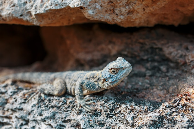 Agama-gardun é uma espécie de lagarto agamidae do gênero monotípico stellagama