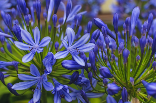 Agapanthus flores na natureza