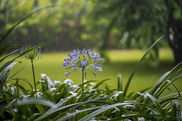 Agapanthus praecox, flor de lírio azul durante a chuva tropical, close-up. o lírio africano ou lírio do nilo é uma planta de jardim popular na família amaryllidaceae. tanzânia, áfrica oriental. conceito de natureza