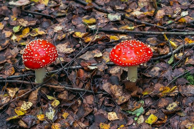 Agaric de mosca vermelho do cogumelo na floresta do outono