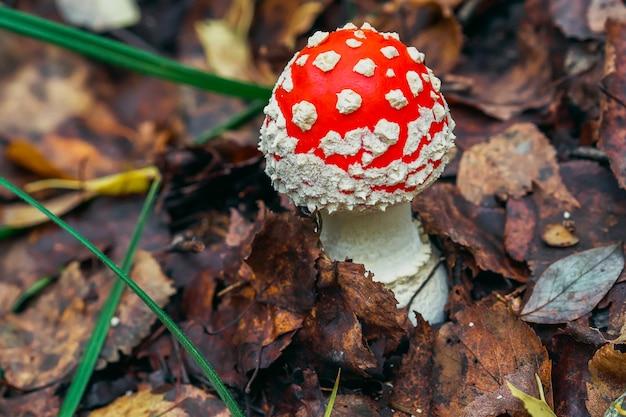 Agaric de mosca vermelho do cogumelo venenoso e perigoso