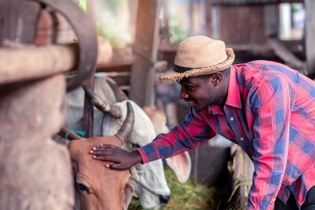 Agricultor africano, alimentação de vacas com grama na fazenda