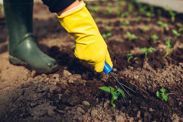 Agricultor, afrouxando o solo entre mudas de pimenta com garfo na estufa de primavera