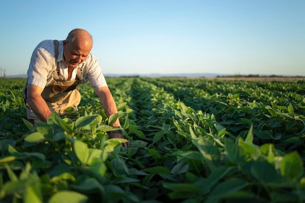 Agricultor agrônomo sênior trabalhador no campo de soja verificando as colheitas antes da colheita