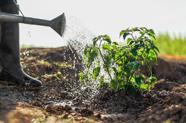 Agricultor, aguando, vegetal, em, jardim
