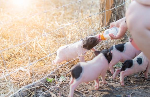 Agricultor, alimentação, leite, para, porco bebê, em, fazenda