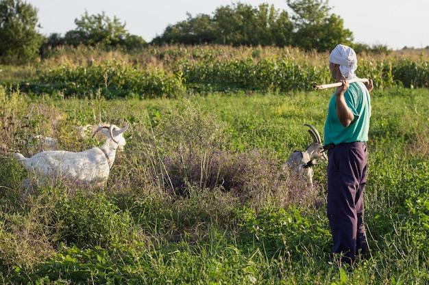 Agricultor, alimentando as cabras com grama
