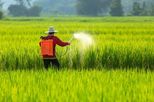 Agricultor asiático camponês pulverização de pesticidas em campos de arroz