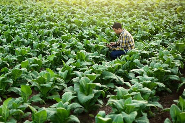 Agricultor asiático pesquisando planta na fazenda de tabaco