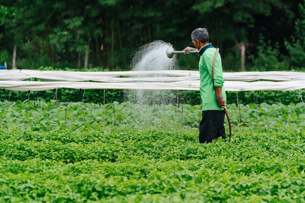Agricultor asiático regando vegetais de broto com tubo de borracha nos campos.