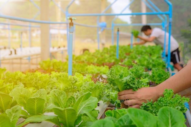 Agricultor, coletar, verde, hydroponic, orgânica, salada vegetal, em, fazenda