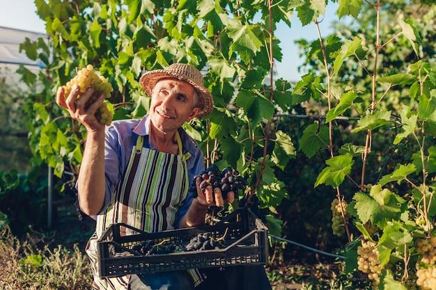 Agricultor colheita colheita de uvas na fazenda ecológica. feliz homem sênior colhendo uvas verdes e azuis