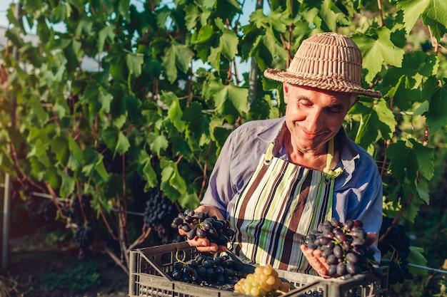 Agricultor colheita colheita de uvas na fazenda ecológica. feliz homem sênior segurando uvas verdes e azuis