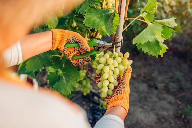 Agricultor, colheita de uvas na fazenda ecológica.