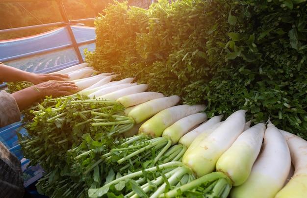 Agricultor colheita e limpeza daikon (rabanetes japoneses) na terra para exportar para o mercado.