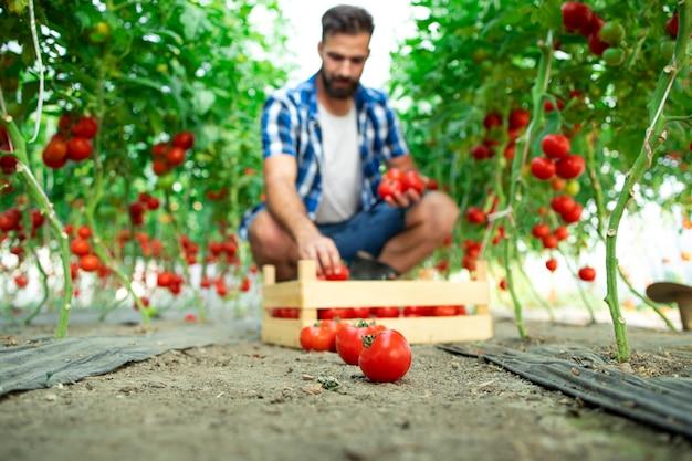 Agricultor colhendo vegetais de tomate fresco maduro para a venda no mercado.
