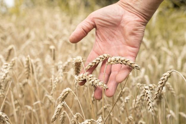 Agricultor com a mão nas espigas de trigo closeup