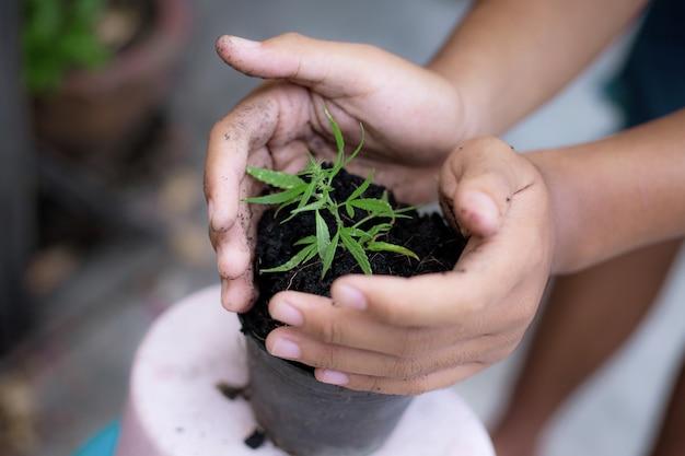 Agricultor com mudas de cannabis plantadas em um vaso.