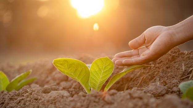 Agricultor dando fertilizante para planta de tabaco jovem