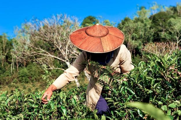 Agricultor de chá colhendo folhas de chá.
