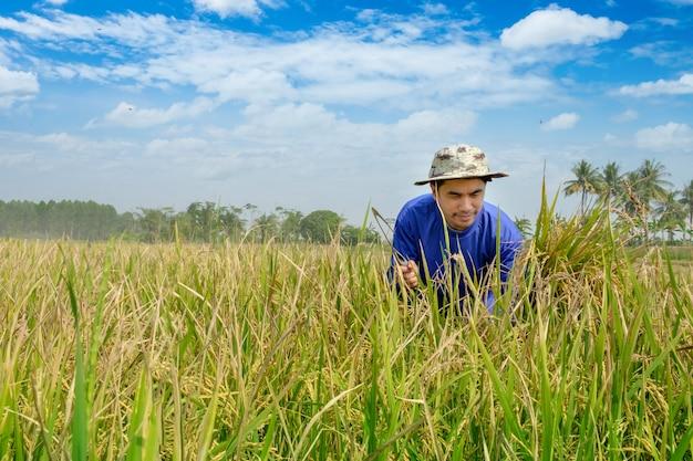 Agricultor de homem tailandês feliz colheita de arroz na zona rural de tailândia