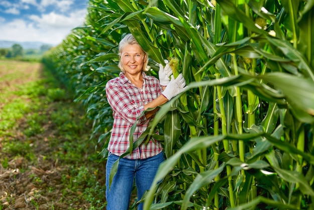 Agricultor de mulher madura na colheita de milho.