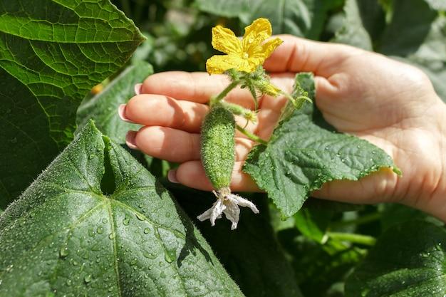 Agricultor de mulher mãos verificar um pepino na fazenda orgânica depois da chuva