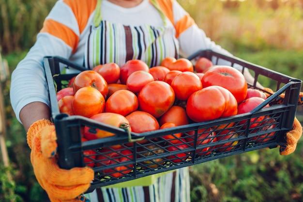 Agricultor de mulher segurando a caixa de tomates vermelhos na fazenda eco, reunindo colheita de outono de legumes, jardinagem