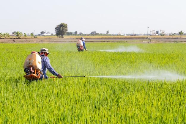 Agricultor de pulverização de pesticidas no campo de arroz