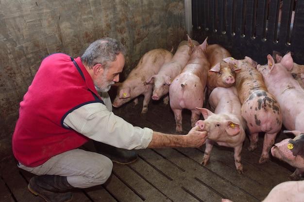 Agricultor dentro de uma fazenda de suínos, acariciando os porcos