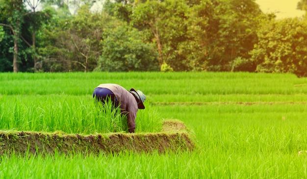 Agricultor destruindo as ervas daninhas no campo de arroz