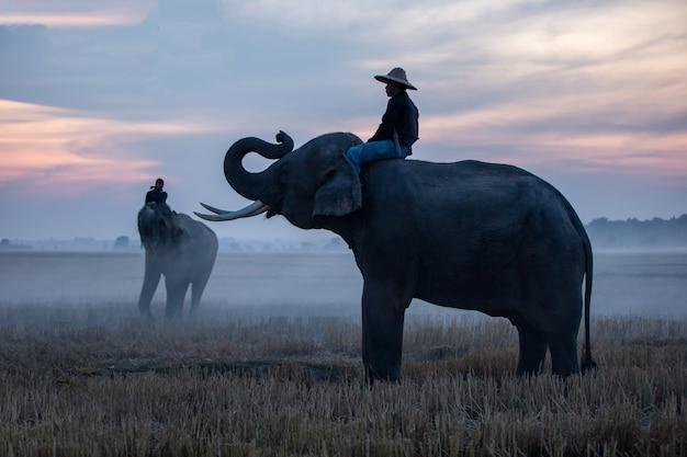 Agricultor e elefantes no campo de arroz, fazendo a colheita