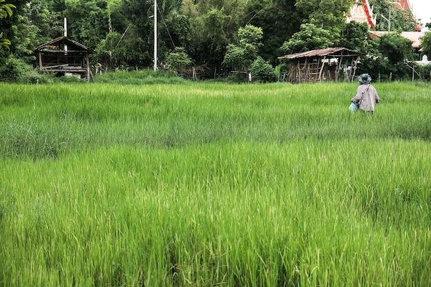 Agricultor, em, agricultura, inundado, campo, de, arroz, seedlings