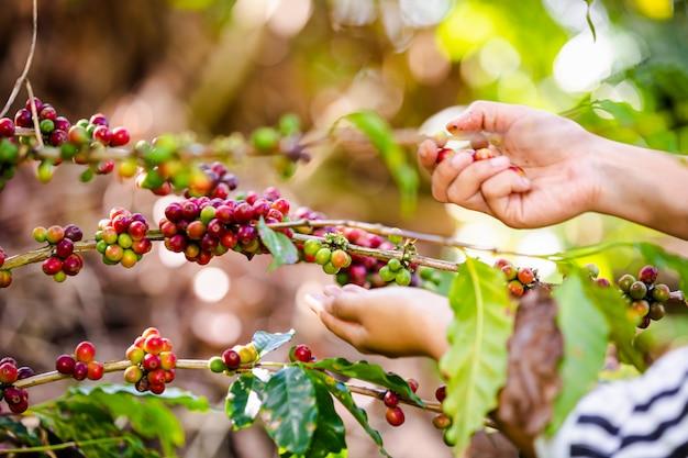 Agricultor está coletando grãos de café crus em terras agrícolas
