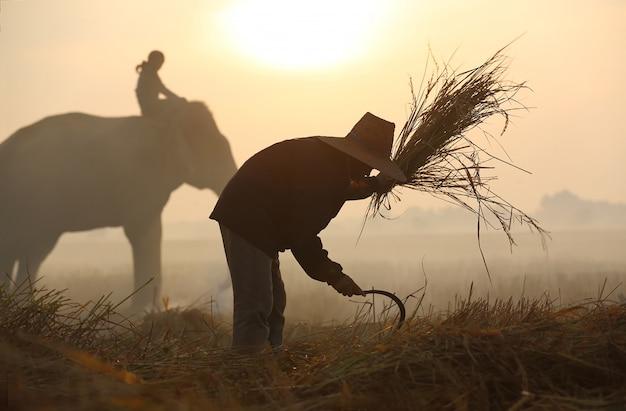 Agricultor fazendo cerimônia de colheita no campo de arroz com elefante