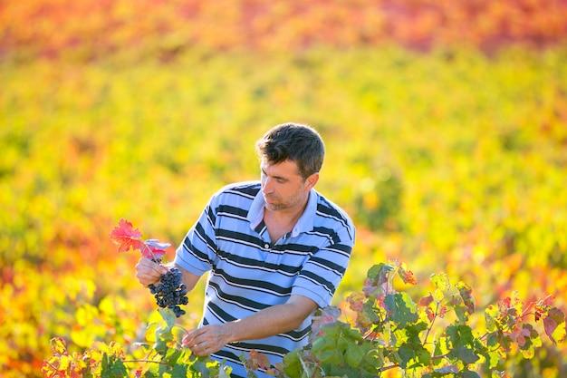 Agricultor, homem, em, colheita vinhedo, outono sai, em, mediterrâneo