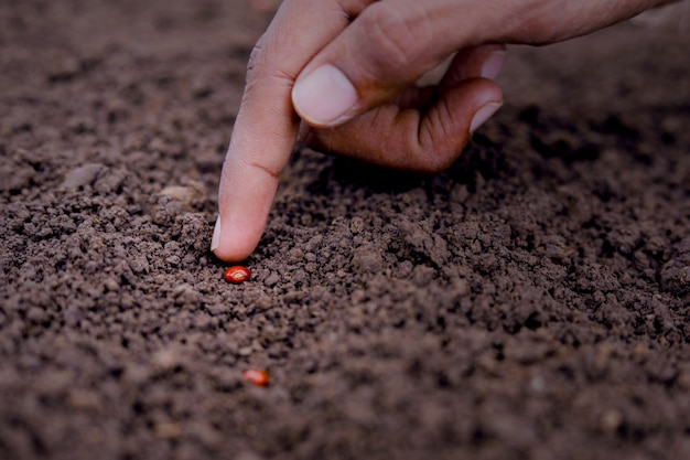 Agricultor indiano, plantio de sementes de lentilha