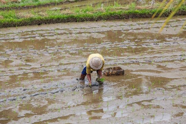 Agricultor indonésio trabalhando duro no campo de arroz em bali, indonésia. o solo vulcânico fértil de bali tornou o arroz um alimento básico da dieta alimentar.