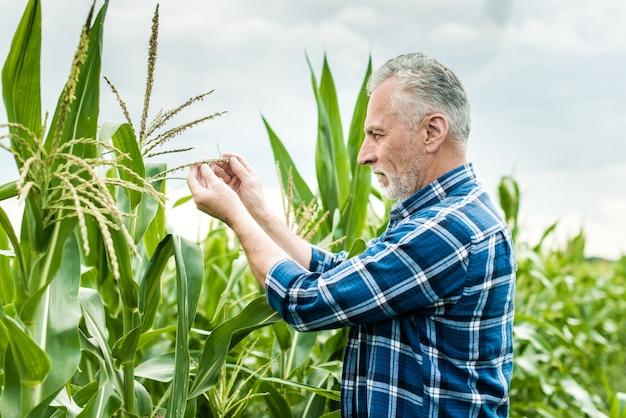 Agricultor, inspeccionando, milho, campo, verão, ensolarado, dia