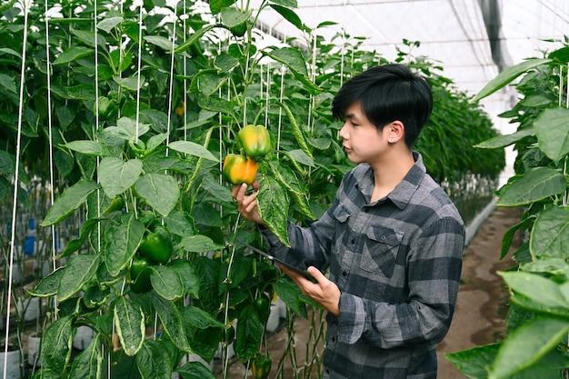 Agricultor inteligente usando tablet digital, verificando a qualidade do pimentão em estufa.