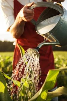 Agricultor, irigating, seu, milho, campo, com, lata molhando