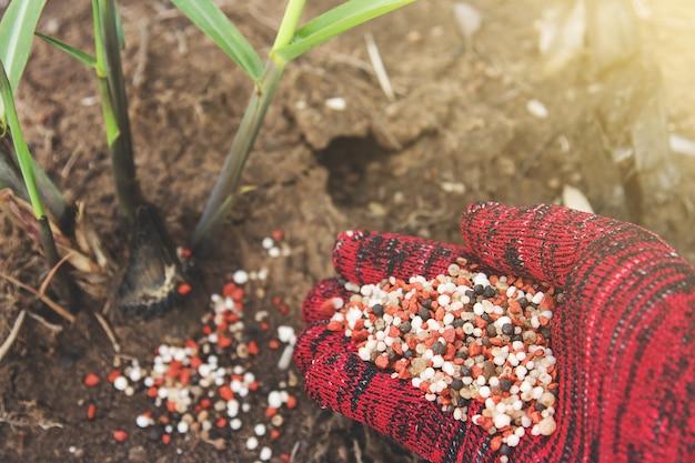 Agricultor mão dando fertilizante para a árvore de cana de açúcar jovem