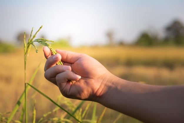 Agricultor, mão, suavemente, arroz segurando, com, luz solar, em, paddy, campo, agricultura