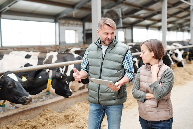 Agricultor masculino confiante com touchpad explicando ao colega como cuidar de uma nova raça de vacas leiteiras enquanto se move ao longo do estábulo
