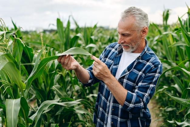 Agricultor masculino inspeciona e inspeciona folhas de milho