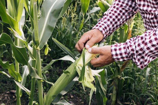 Agricultor, milho, proteção ambiental, homem, agricultor, mão, tocando, milho, agricultor, mão, verifica o milho