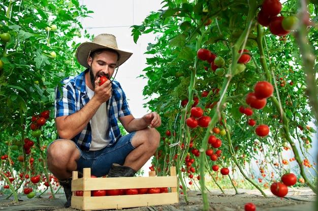 Agricultor mordendo tomate vegetal e verificando a qualidade dos alimentos orgânicos em estufa