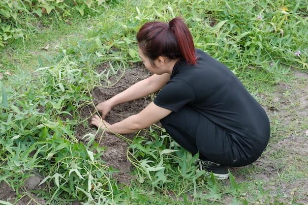Agricultor mulher, colheita, batata doce