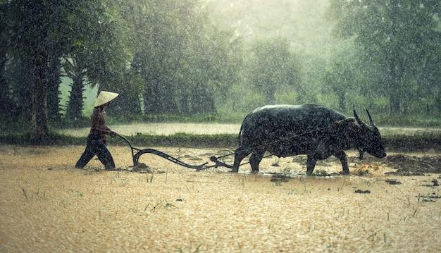Agricultor na chuva; os agricultores cultivam arroz na estação chuvosa.